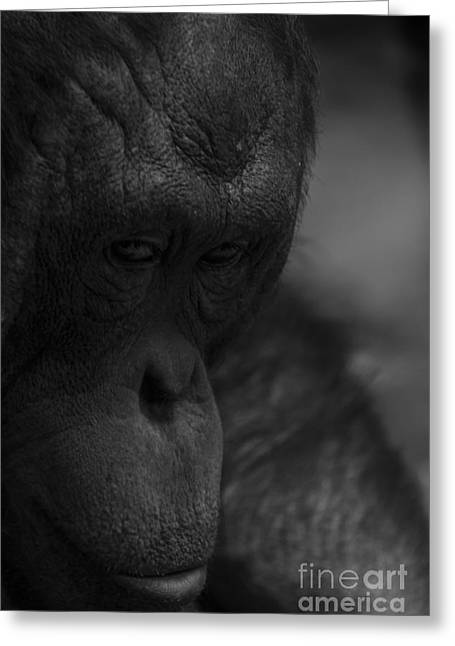 Contemplating Orangutan Greeting Card