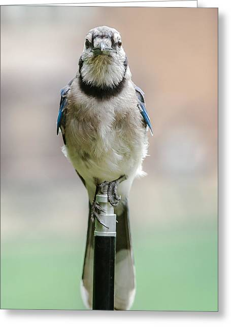 Contemplative Blue Jay Greeting Card