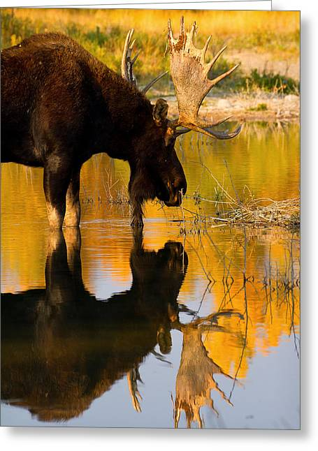Greeting Card featuring the photograph Contemplative Moose by Aaron Whittemore