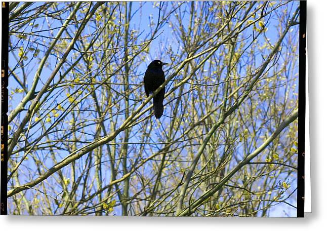 Content Grackle Greeting Card