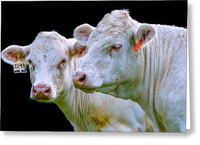 Contrast Cows Greeting Card