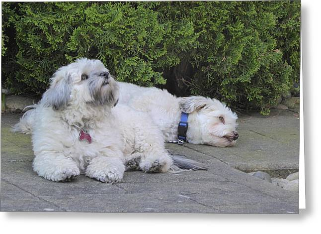Greeting Card featuring the photograph Havanese Dog Sisters B by Laurie Tsemak