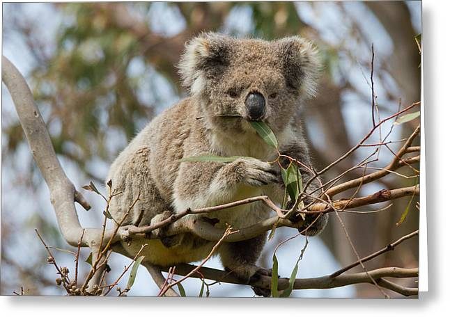 Cool Koala Greeting Card by Phil Stone