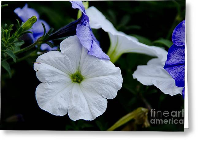 Greeting Card featuring the photograph Cool Summer Petunias by Wilma  Birdwell