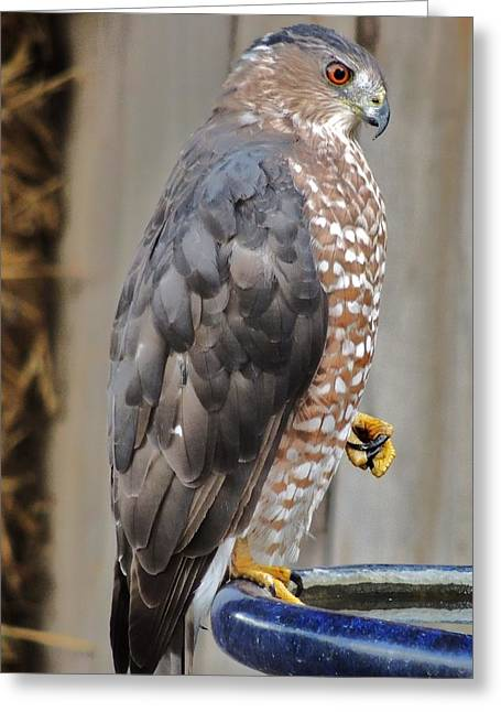 Coopers Hawk 2 Greeting Card by Helen Carson