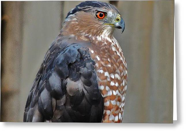 Coopers Hawk 3 Greeting Card