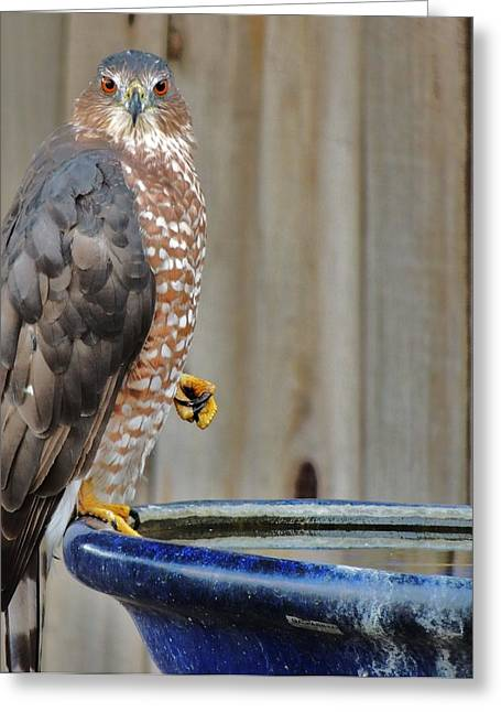 Coopers Hawk 4 Greeting Card