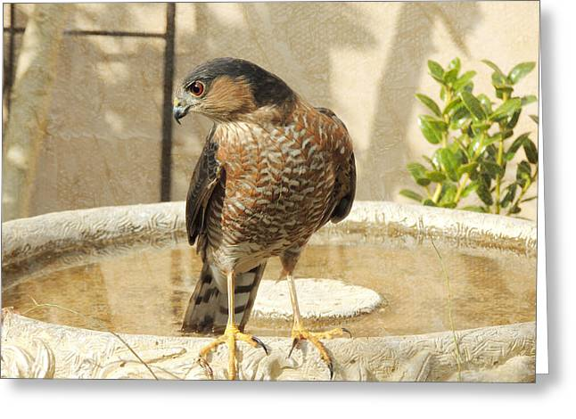 Cooper's Hawk At The Bird Bath Greeting Card