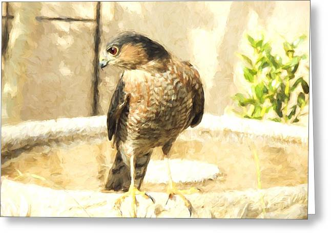 Cooper's Hawk At The Birdbath Greeting Card