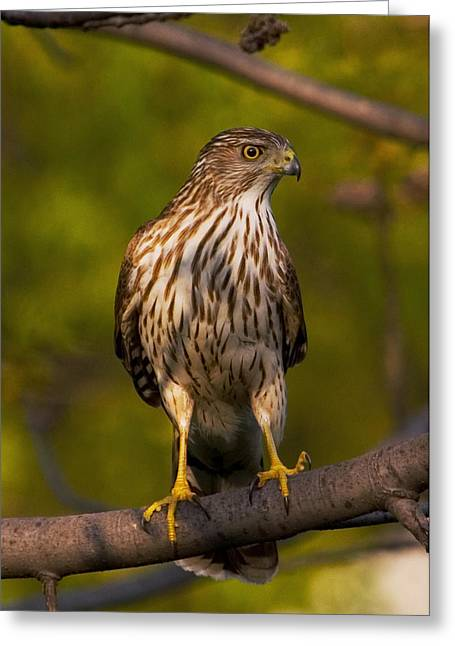 Greeting Card featuring the photograph Coopers Hawk by David Armstrong