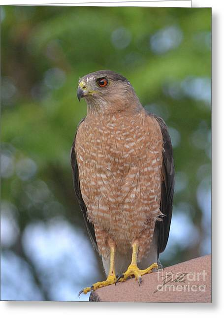 Cooper's Hawk I Greeting Card