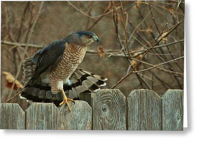 Coopers Hawk Greeting Card