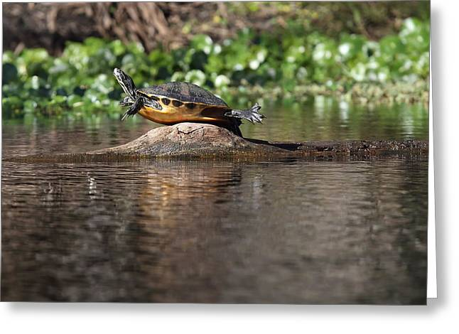 Cooter On Alligator Log Greeting Card by Paul Rebmann