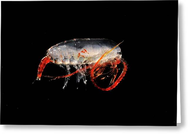 Copepod Crustacean Greeting Card by British Antarctic Survey/science Photo Library