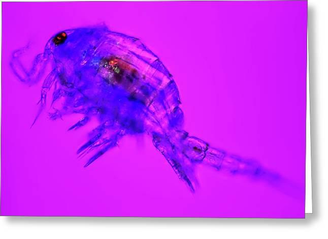 Copepod Crustacean Greeting Card by Frank Fox