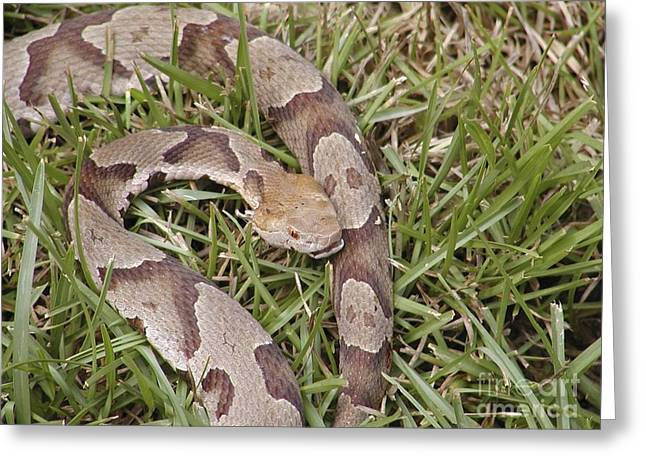 Copperhead Greeting Card