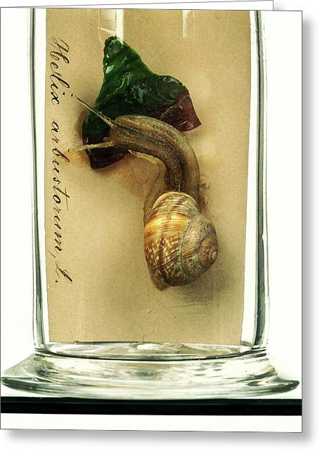 Copse Snail Greeting Card