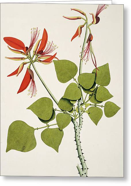 Coral Bean Tree Greeting Card by Natural History Museum, London/science Photo Library
