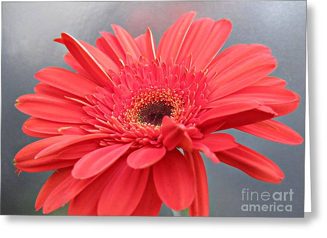 Coral Gerber Daisy Greeting Card by Addie Hocynec