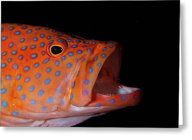 Coral Gouper With Shrimp In Mouth Greeting Card by Scubazoo
