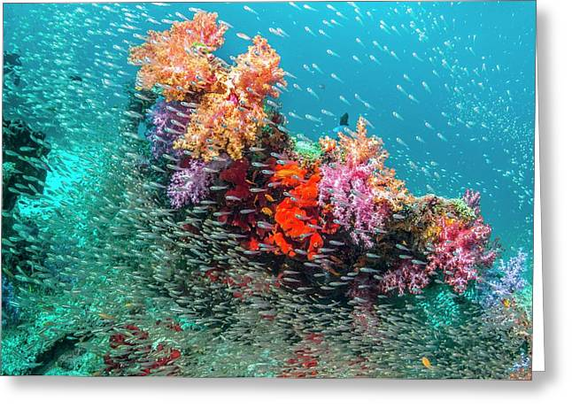 Coral Reef And Pygmy Sweepers Greeting Card