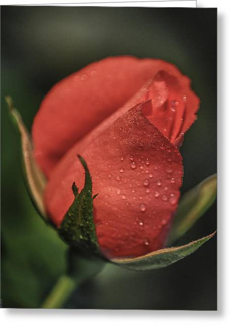 Coral Rosebud Greeting Card by Debbie Karnes