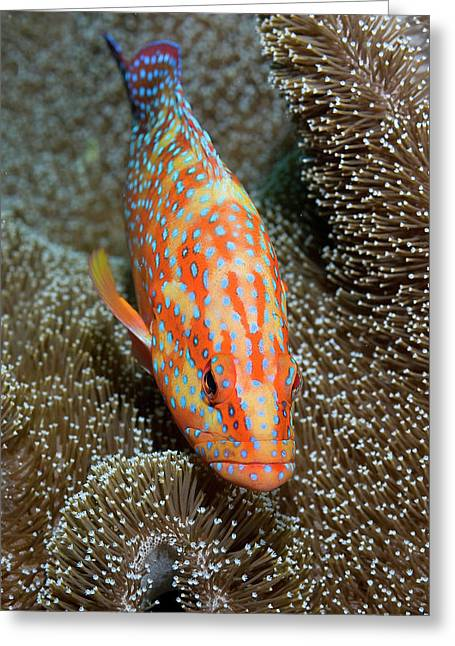 Coral Trout Or Grouper (plectropomus Greeting Card by Jaynes Gallery