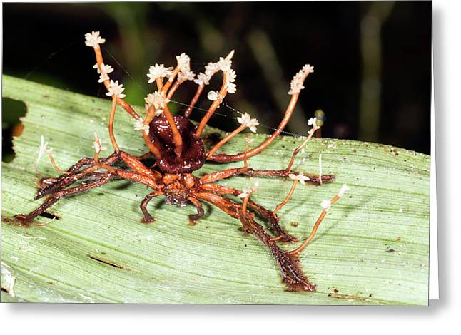 Cordyceps Fungus Greeting Card by Dr Morley Read