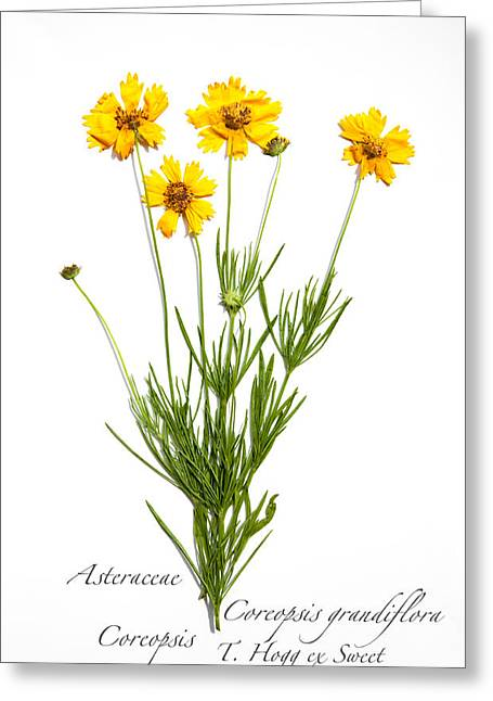 Coreopsis 1 Greeting Card