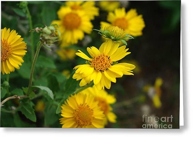 Coreopsis Bloom Greeting Card by Peter Piatt