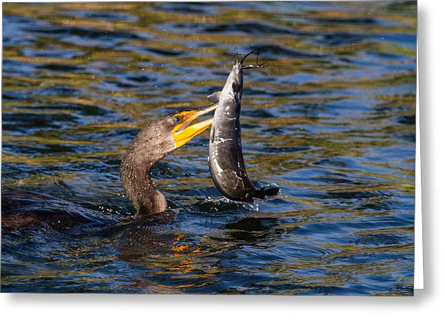 Cormorant And Its Meal Greeting Card by Andres Leon