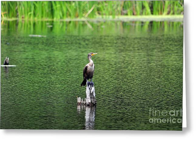 Cormorant Chilling Greeting Card by Al Powell Photography USA