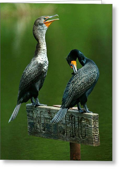 Cormorant Courtship Greeting Card