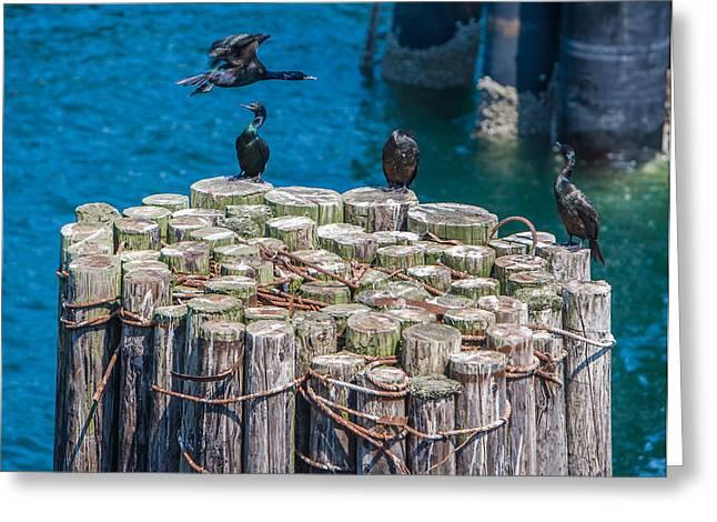 Cormorant Landing Greeting Card