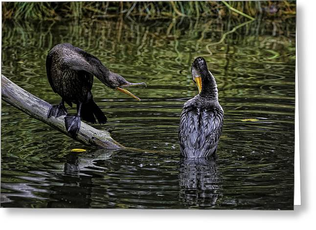 Cormorant Squabble Greeting Card