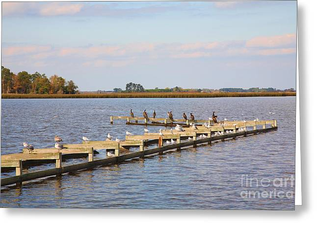 Cormorants And Seagulls On Old Dock Near Blackwater  National Wildlife Refuge Near Cambridge Md Greeting Card