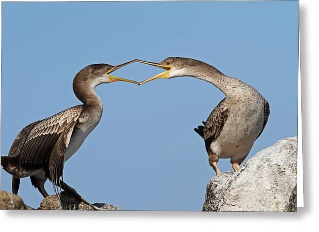 Cormorants Fight Greeting Card