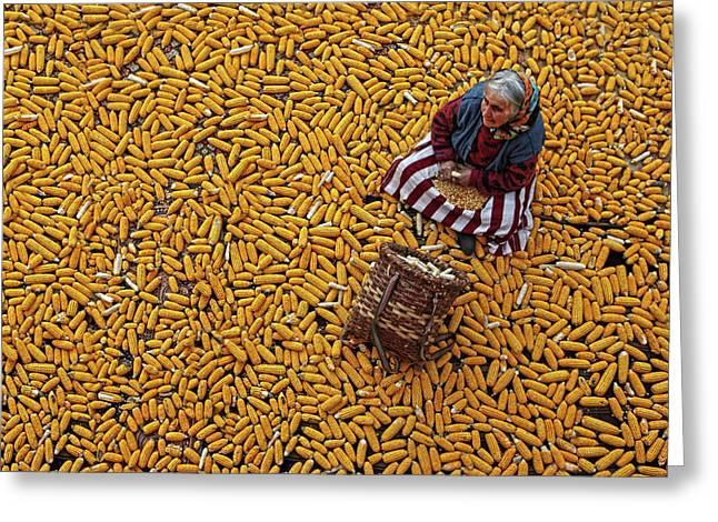 Corn A??a?? Greeting Card