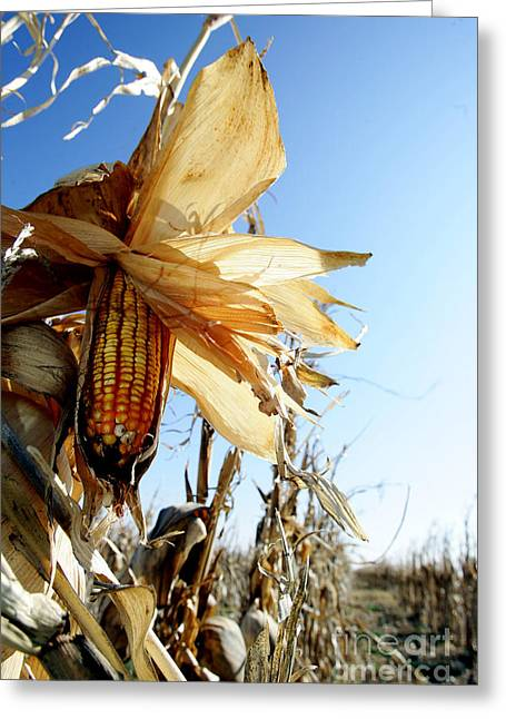 Corn And Husks In A Plantation Greeting Card