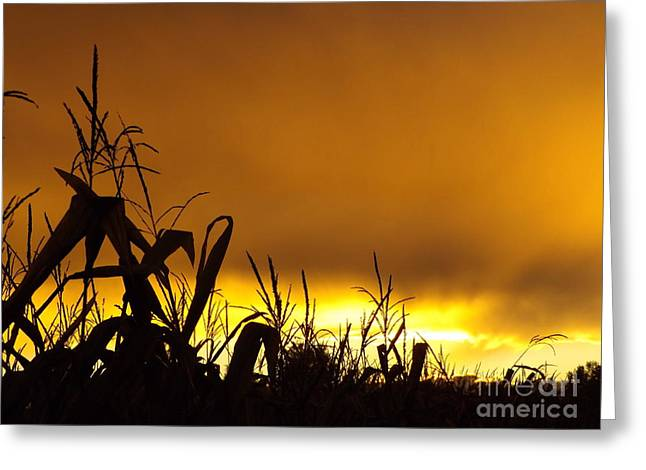 Corn At Sunset Greeting Card by Erick Schmidt