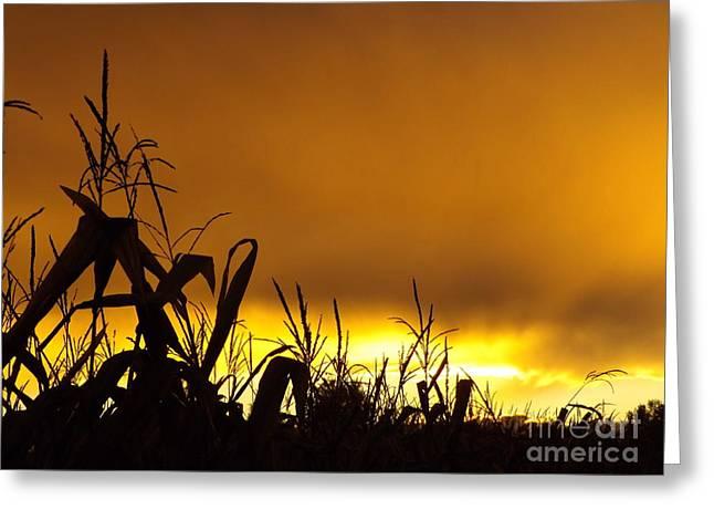 Corn At Sunset Greeting Card