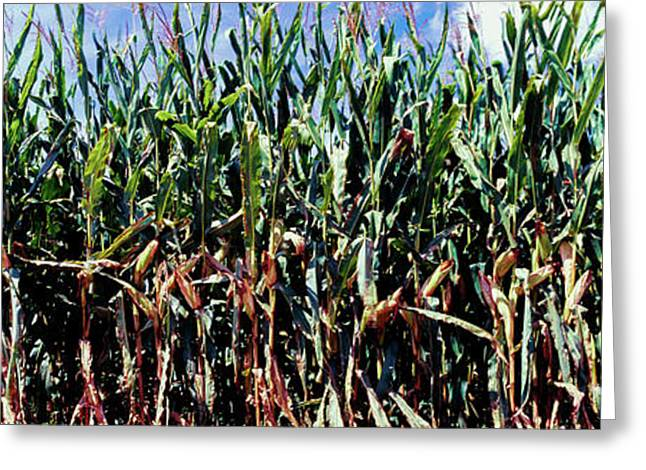 Corn Crop In A Field, Amish Country Greeting Card by Panoramic Images