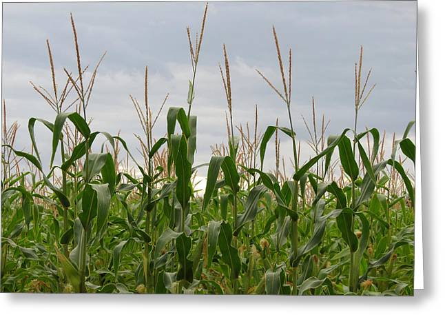Greeting Card featuring the photograph Corn Field by Laurel Powell