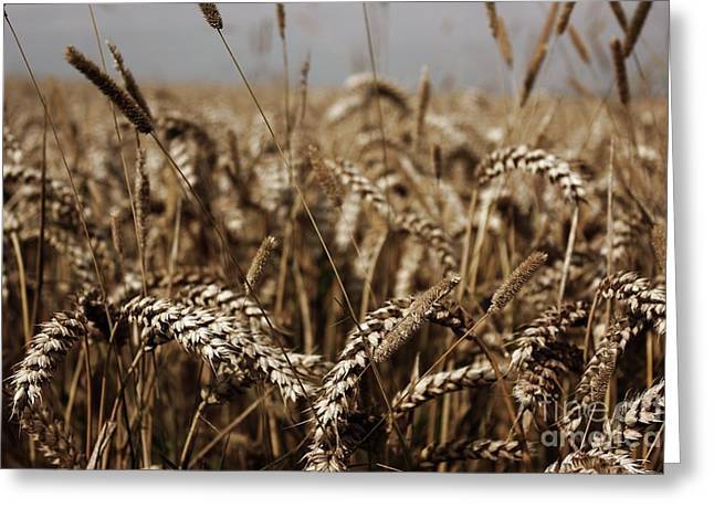 Greeting Card featuring the photograph Corn Field by Vicki Spindler