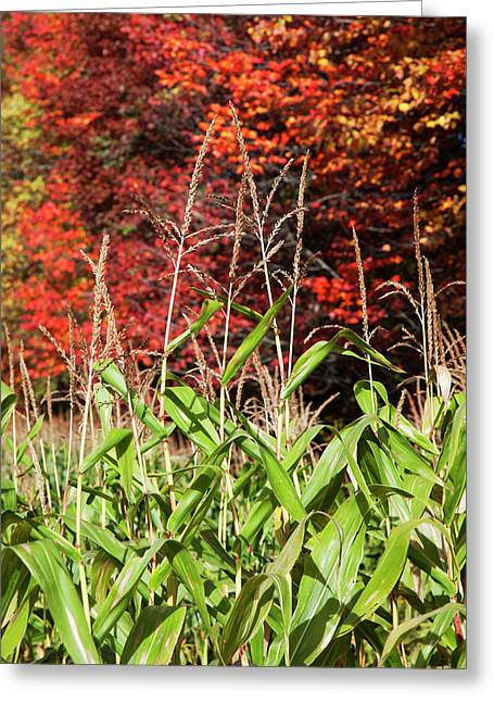 Corn Growing In A Field And Autumn Greeting Card by Jenna Szerlag