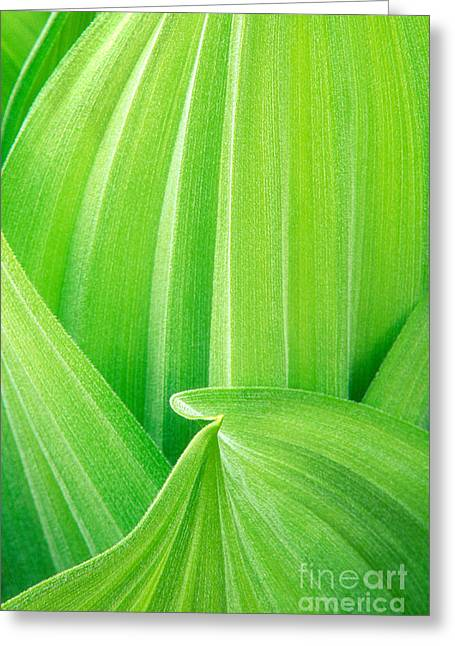 Greeting Card featuring the photograph Corn Lily Leaf Detail Yosemite Np California by Dave Welling