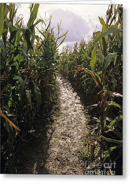 Corn Maze Greeting Card by Jim Corwin