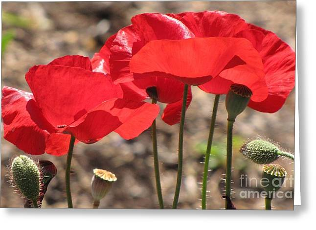 Greeting Card featuring the photograph Corn Poppies by Michele Penner