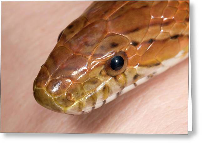 Corn Snake Or Red Rat Snake Head Close-up Greeting Card