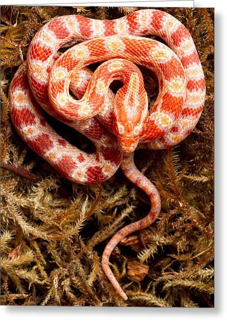 Corn Snake Pantherophis Guttatus On Moss Greeting Card